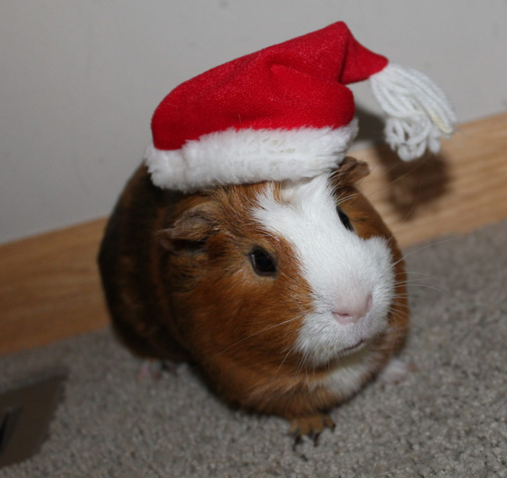 Guinea Pig named Twix with a mini Santa hat on.
