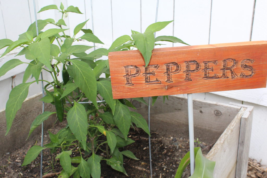 Jalapeno pepper plant and sign in the garden