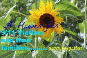 sunflower-9-11