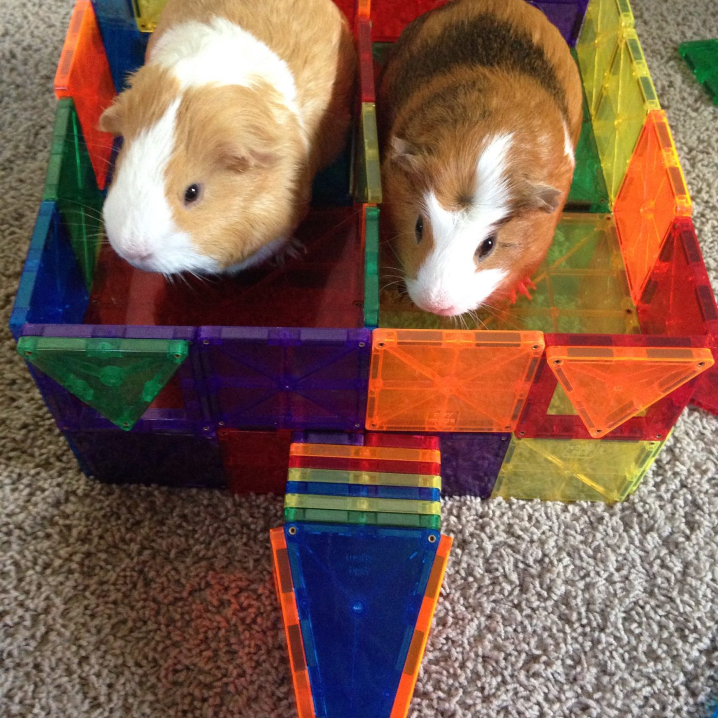 10 tricks get guinea pigs interacting family.More fun with magnet tiles! A guinea pig corral! Family fun, kids activties, teaching kids compassion, empahty, kindness. #guineapigs #pets #petcare #animals #familypet #compassion #pethealth #smallanimalpets #kids #childrenandpets