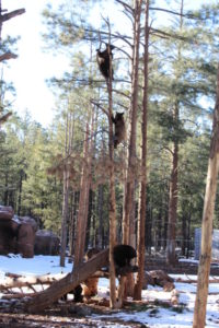 Baby bears climbing a tree at Bearizona Williams Arizona