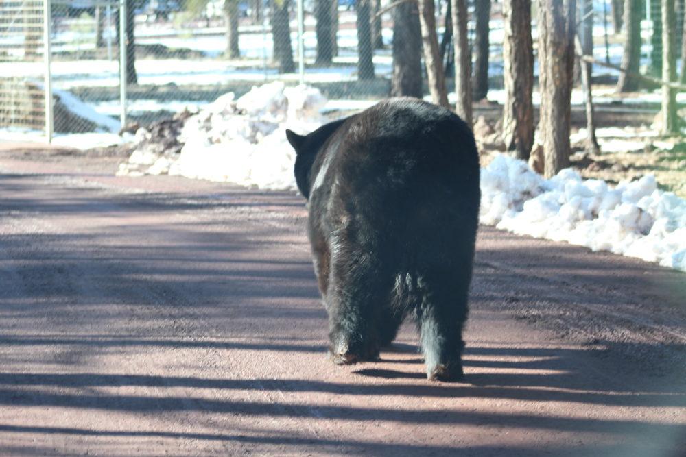Bear walking down road at Bearizona Williams Arizona