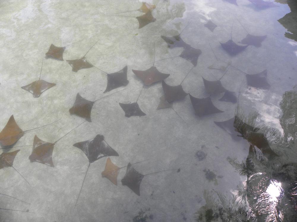 Sting rays at Atlantis Paradise Island Bahamas