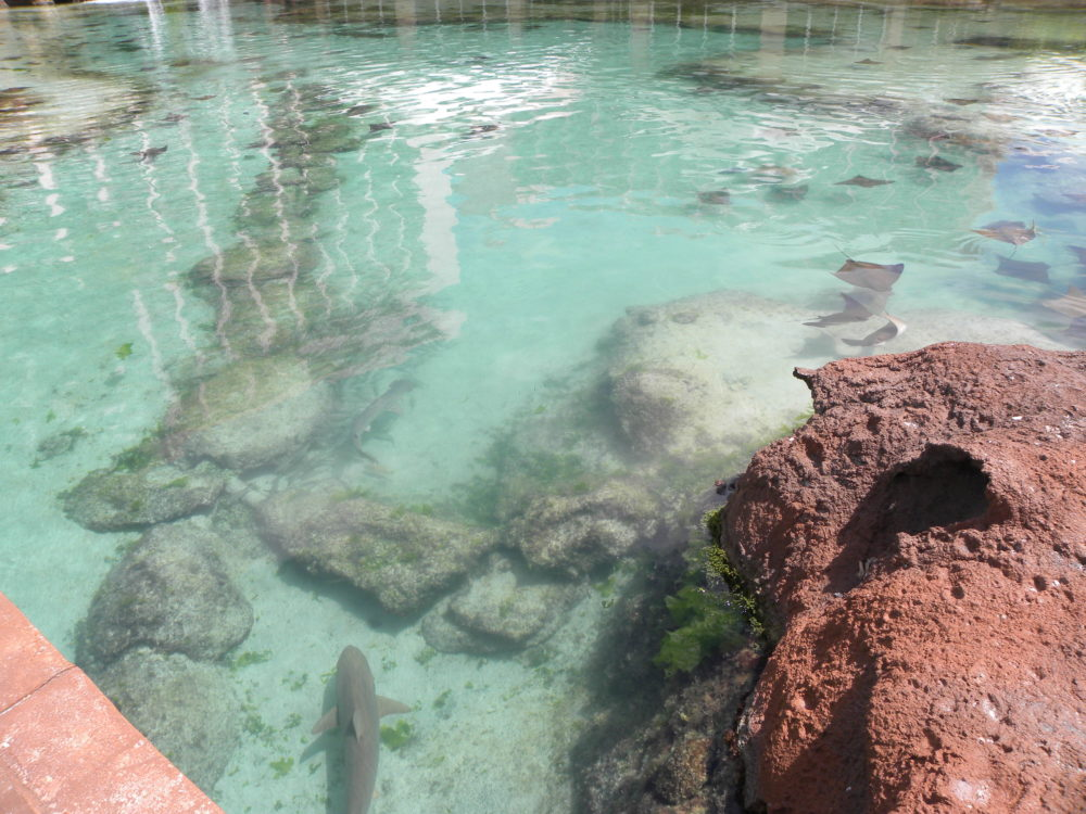 Sharks and Sting Rays in Lagoon Pool