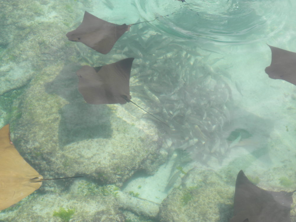 Sting Rays in lagoon at Atlantis