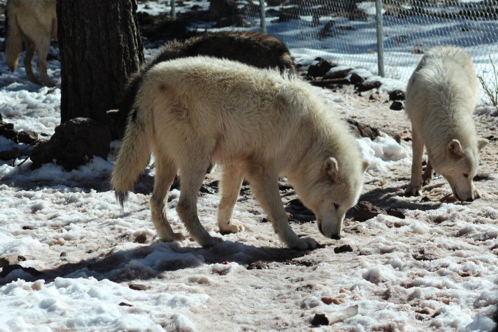 Wolves at Bearizona in Williams Arizona