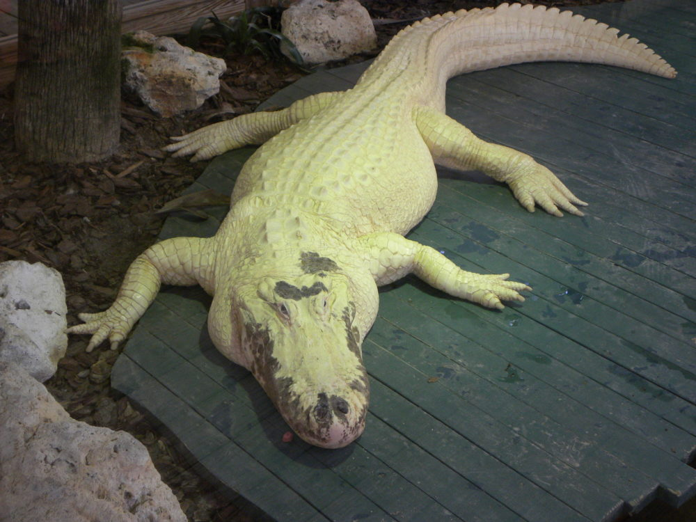 albino gator at Gatorland in Orlandoo FLorida