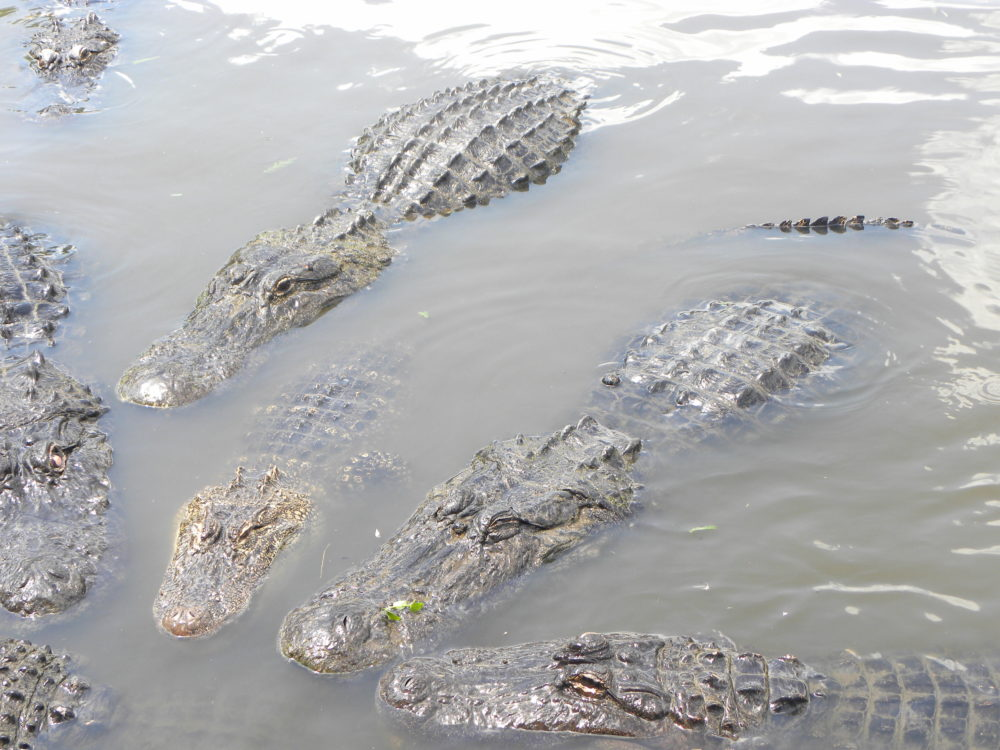 Lots of gators gathered together in the water