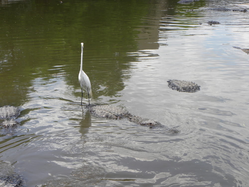 White bird standing on gator