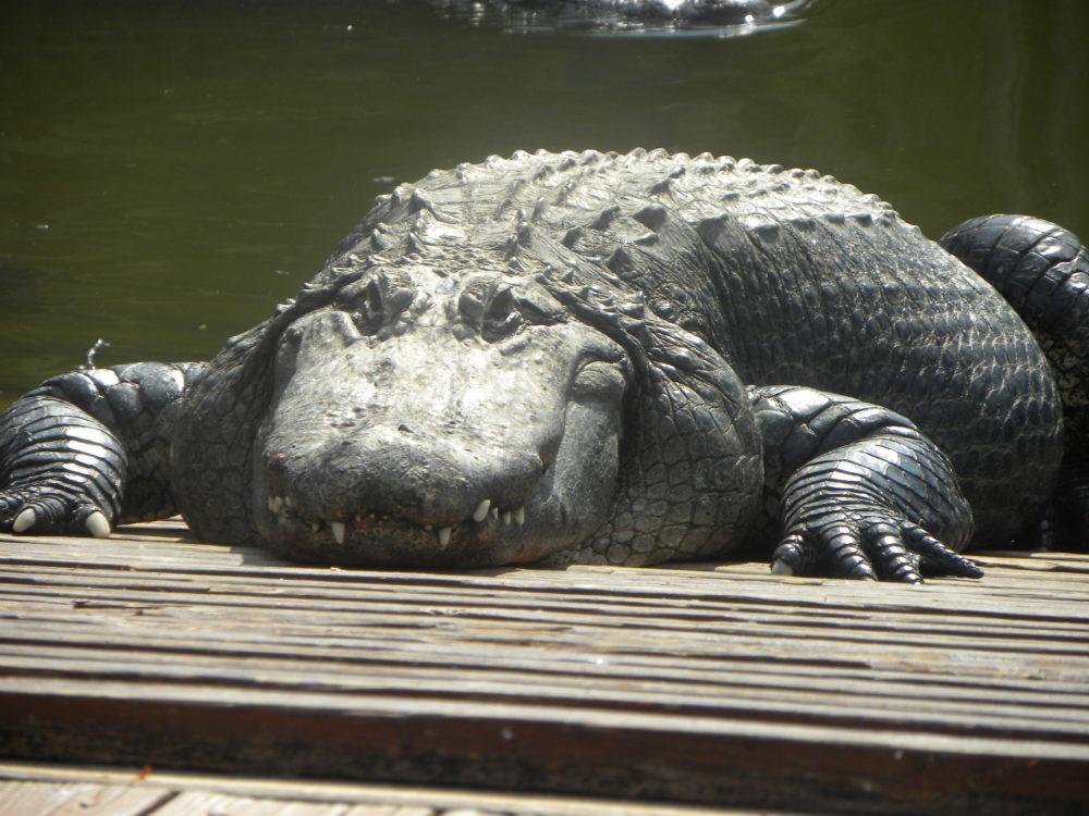 Gator at Gatorland