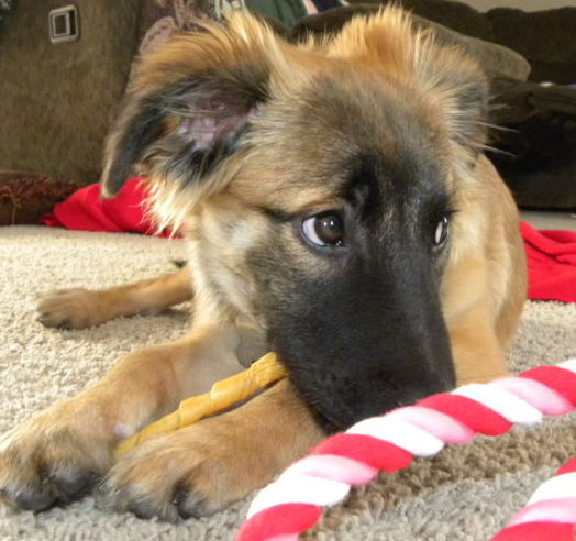 Puppy with a chew toy.