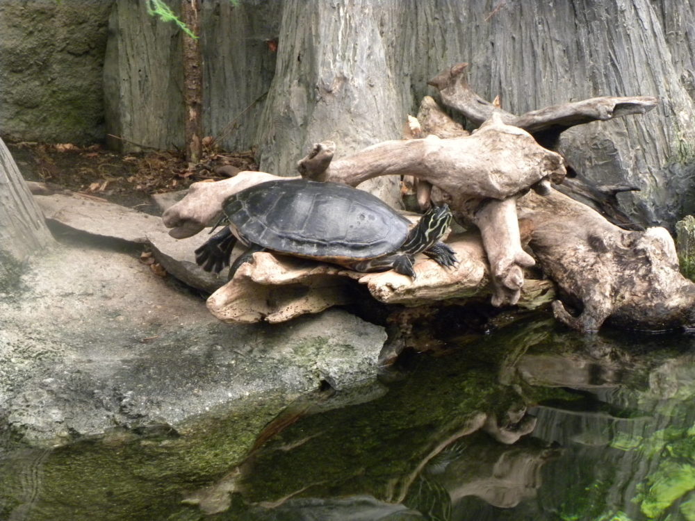 Turtle at North Carolina Aquarium Roanoke Island