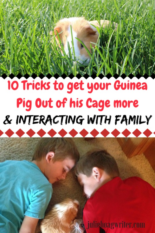 10 Tricks to get your Guinea Pig Out of his Cage more and interacting with family. tips for guinea pigs-guinea pig ideas- pets-kids and guinea pigs-family pets-kids and pets-pet care for kids-pets guinea pigs #guineapigs #pets #petcareforekids #familypets @juliehoagwriter.com