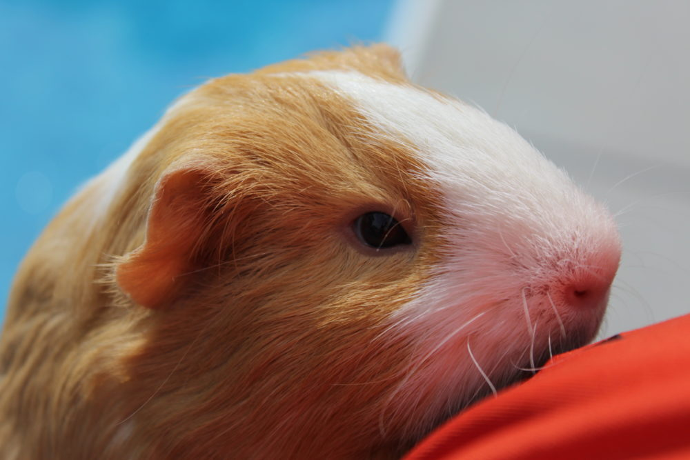 10 tricks get guinea pigs interacting family. Butterscotch the Guinea pig. A very sweet and loving little pet. #guineapigs #pets #petcare #kindness #compassion #animals #animalcare #caringforpets #kidsandpets #familypets #mammal #smallmammal #familyfun #kidsactivities