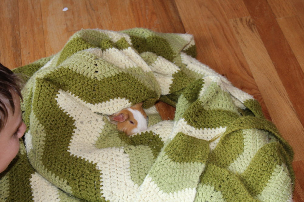 Child with guinea pig sleeping in blanket