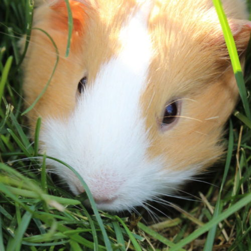 Guinea pig in the grass outdoors