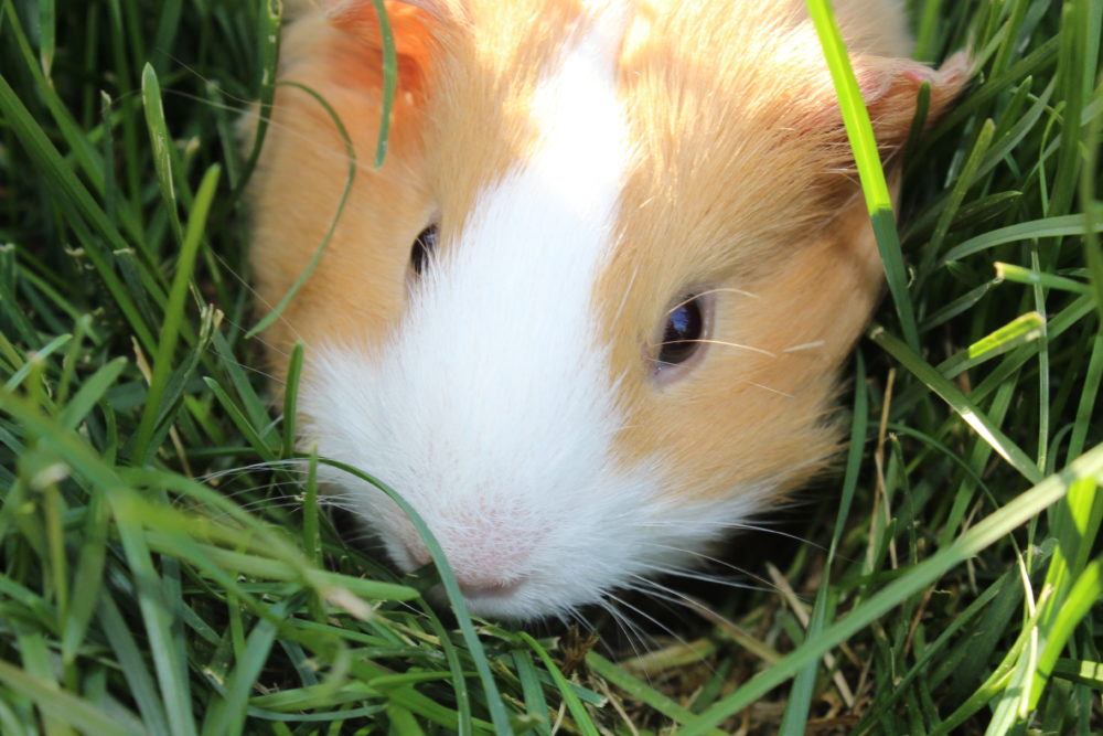 10 tricks get guinea pigs interacting family. Meet Butterscotch! It's fun to take your guinea pig outdoors, stay with them at all times for safety reasons. Pet care. Family pets for family fun. #guineapigs #pets #petlovers #petcare #animals #animallovers #pethealth #compassion #empathy #compassionforanimals #teachingresponsibility #smallanimalpets
