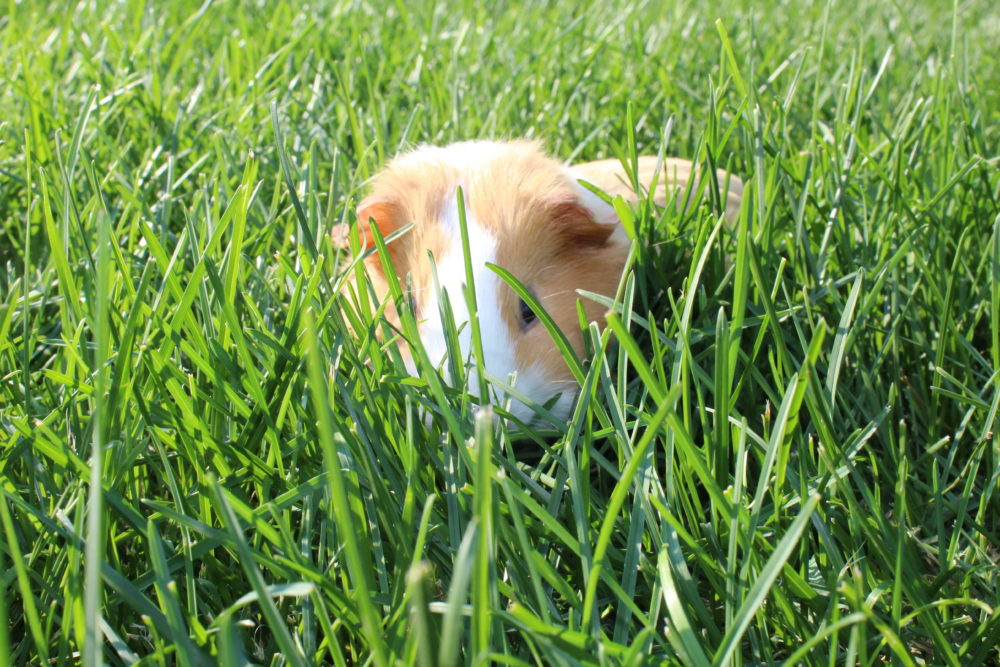 10 tricks get guinea pigs interacting family Guinea pig in the grass. 10 Tips for guinea pig care. #guineapigs #pets #animals #petcare #pethealth #smallanimals #familyfun #familypet #kidsandpets #kids #bestpestforkids #mammals #smallmammal