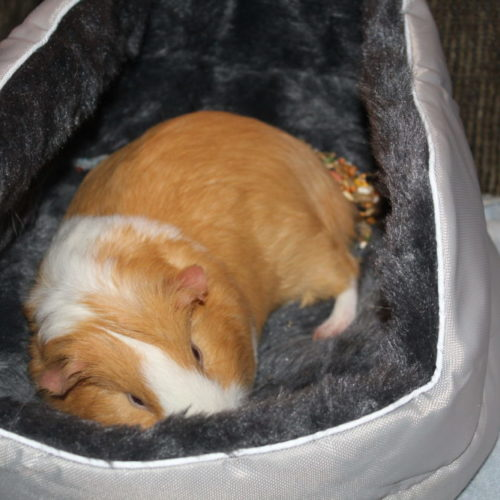 Guinea pig sleeping in his bed