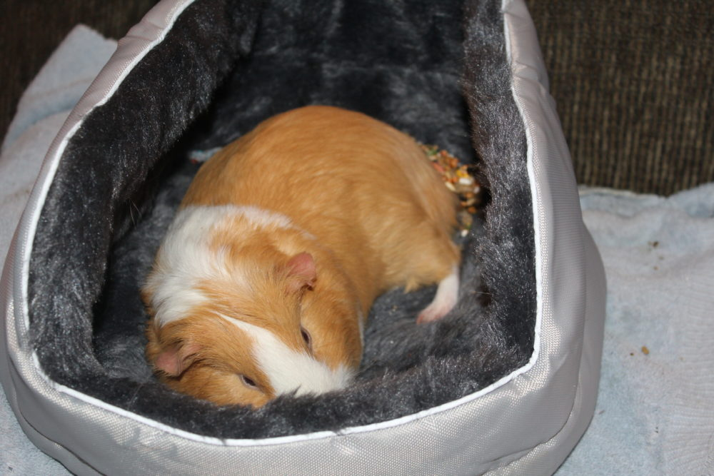 Guinea pig sleeping in his bed. The Best Guinea Pig Bed Your Pet Will Love. Guinea Pig bed review from a guinea pig owner. Best guinea pig accessory for beds. #guineapigs #pigs #piggies #pets #animals #petlovers #animallovers #petcare #petsupplies #smallanimals #smallmammal #petsarefamilytoo