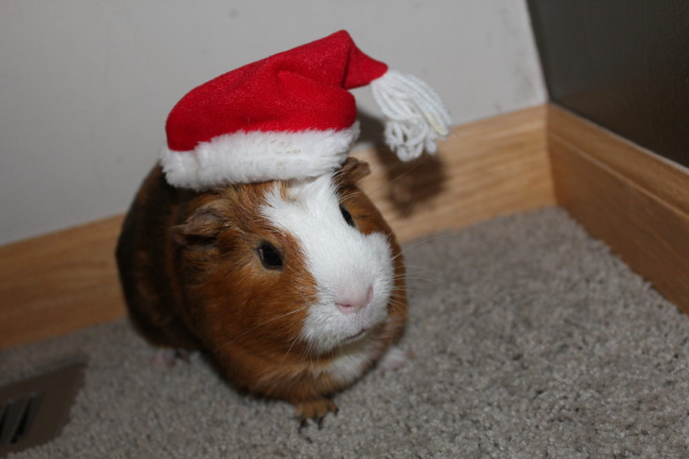 10 tricks get guinea pigs interacting family. Twix the guinea pig in a Santa hat. #guineapigs #pets #familypet #petcare #pethealth #animals #famillyfun #caringforpets #kidsandpets #mammal #kidsactivities #compassion #kindness #teachingresponsibility