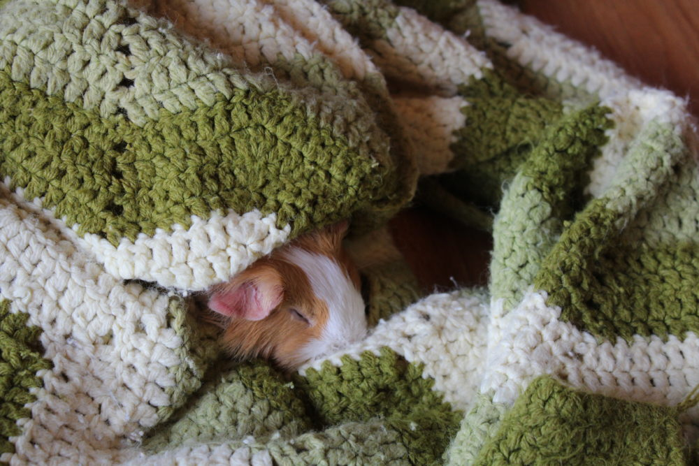 Sleeping guinea pig in a blanket
