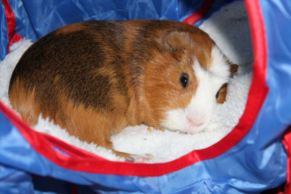 The Best Guinea Pig Bed Your Pet Will Love. Guinea Pig bed review from a guinea pig owner. Best guinea pig accessory for beds. #guineapigs #pigs #piggies #pets #animals #petlovers #animallovers #petcare #petsupplies #smallanimals #smallmammal #petsarefamilytoo