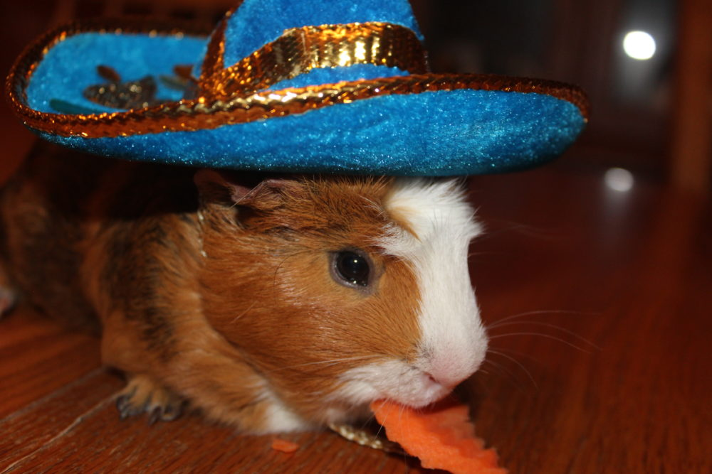 Guinea pig eating a carrot and wearing a mini Mexican hat. The Best Guinea Pig Bed Your Pet Will Love. Guinea Pig bed review from a guinea pig owner. Best guinea pig accessory for beds. #guineapigs #pigs #piggies #pets #animals #petlovers #animallovers #petcare #petsupplies #smallanimals #smallmammal #petsarefamilytoo