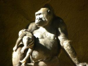 San Diego Zoo Safari Park Gorilla mom holding baby gorilla. #zoo #famliytravel #sandiego #sandiegozoosafaripark #familyattraction #ustravel #visitcalifornia #visitsandiego