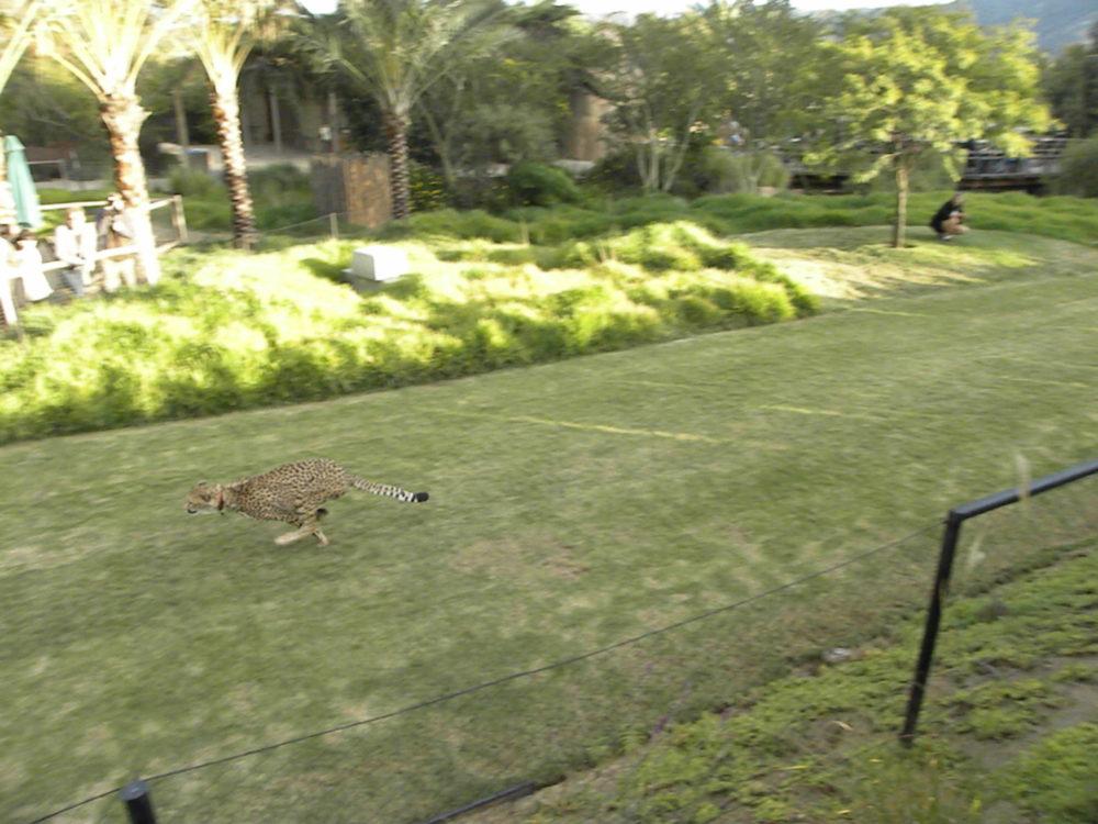 San Diego Zoo Safari Park cheetah run. #familyfun #sandiego #visitcalifornia #sandiegozoosafaripark #familytravel #ustravel #zoo #visitthezoo #familiyattractions #tourist