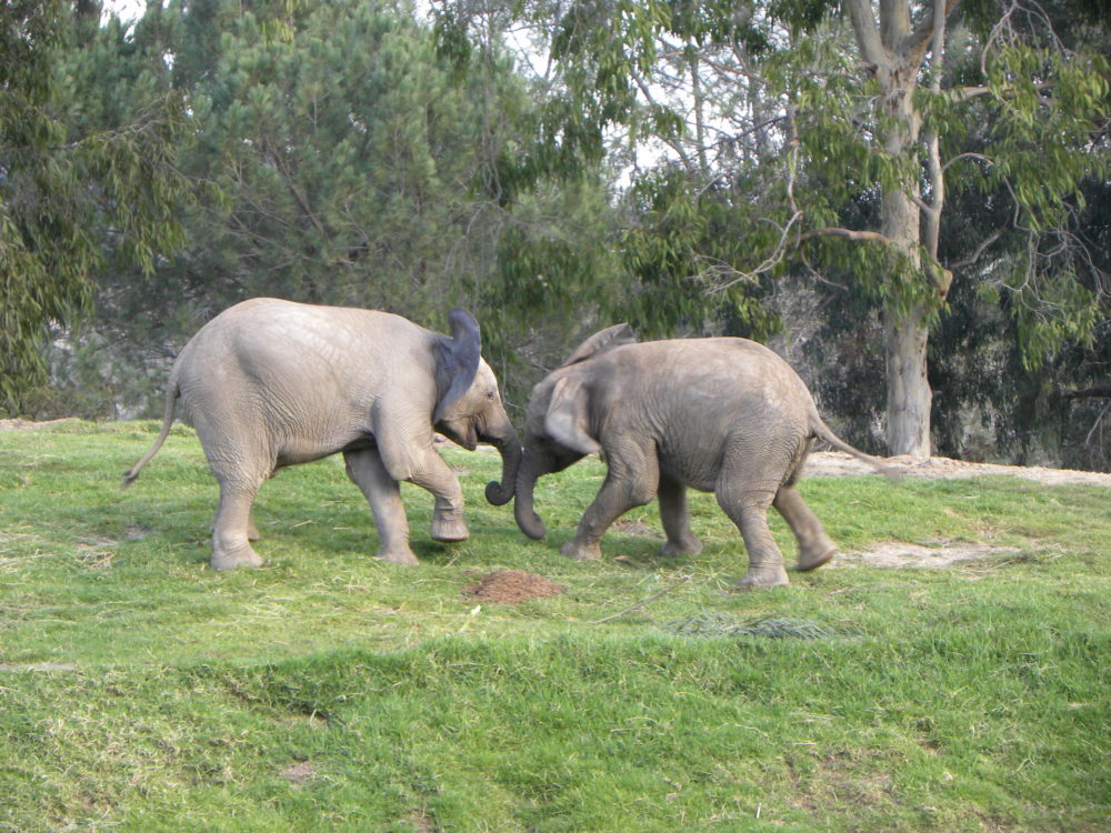 San Diego Zoo Safari Park elephants playing. #zoo #sandiegozoosafaripark #visitcalifornia #ustravel #touristattractions #animals #teachingkids