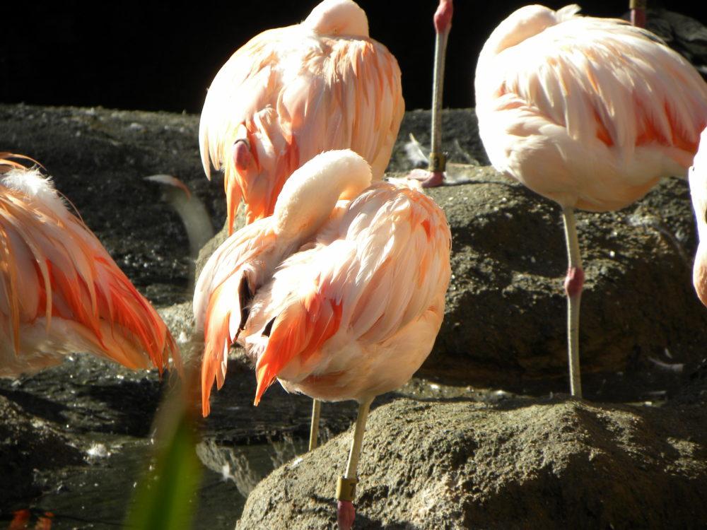San Diego Zoo Safari Park flamingo. #zoo #sandiego #sandiegozoosafaripark #visitcalifornia #familytravel #attractions #attractionsforfamiliesinsandiego #whattodoinsandiego #familytime
