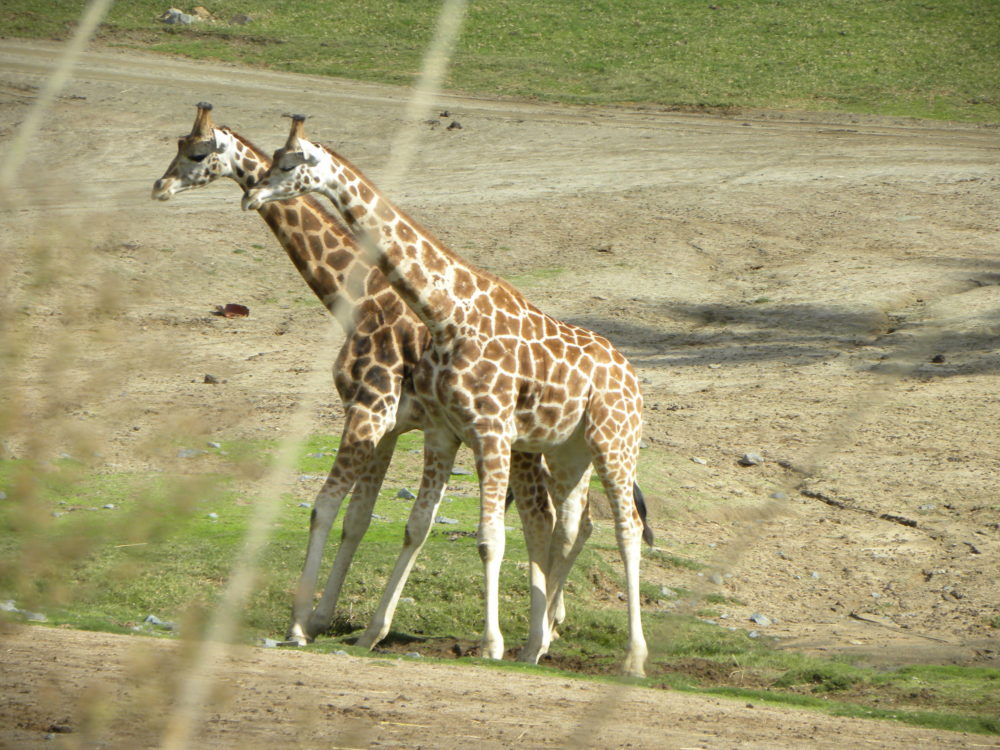 San Diego Zoo Safari Park giraffes done fighting walking parallel