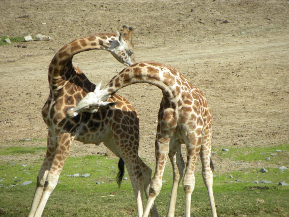 San Diego Zoo Safari Park giraffes fighting #sandiegozoosafaripark #zoo #sandiego #visitsandiego #visitcalifornia #familytravel #ustravel #familyfun #familytime