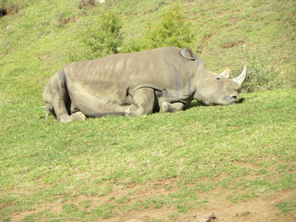 San Diego Zoo Safari Park rhinoceros. #zoo #sandiegozoosafaripark #visitsandiego #sandiego #visitcalifornia #familyfun #touristattractions #animals #travel