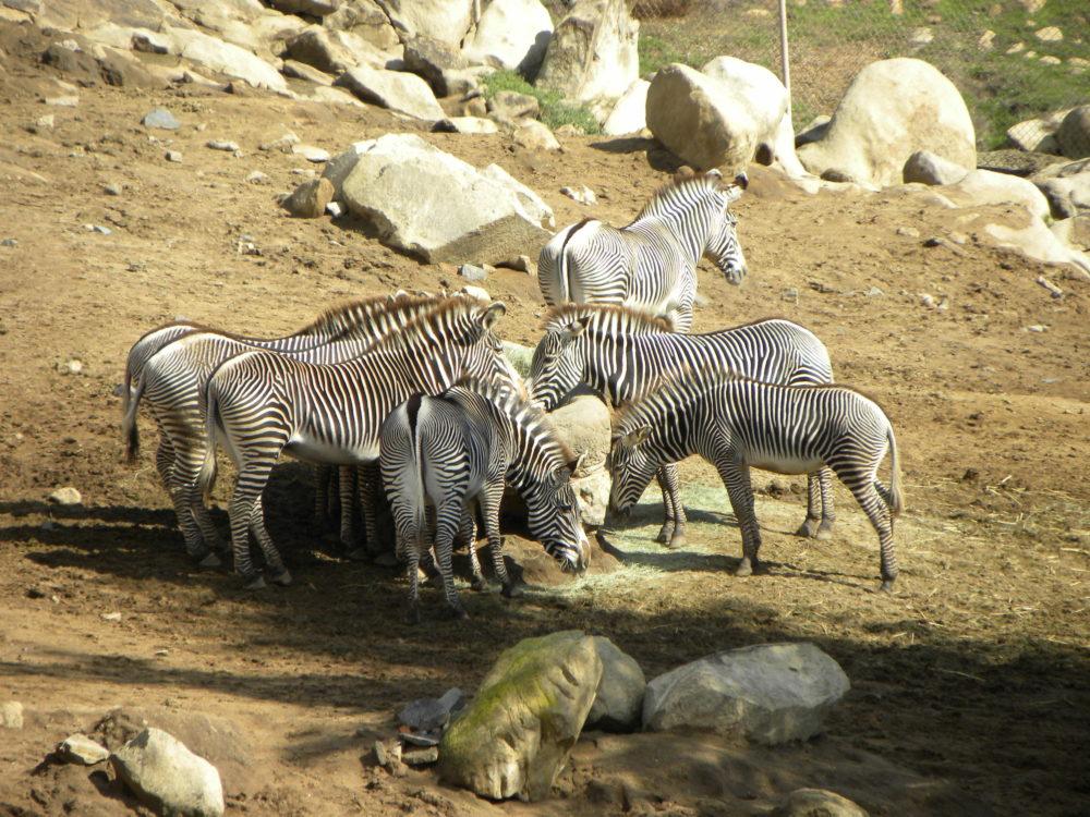San Diego Zoo Safari Park zebras