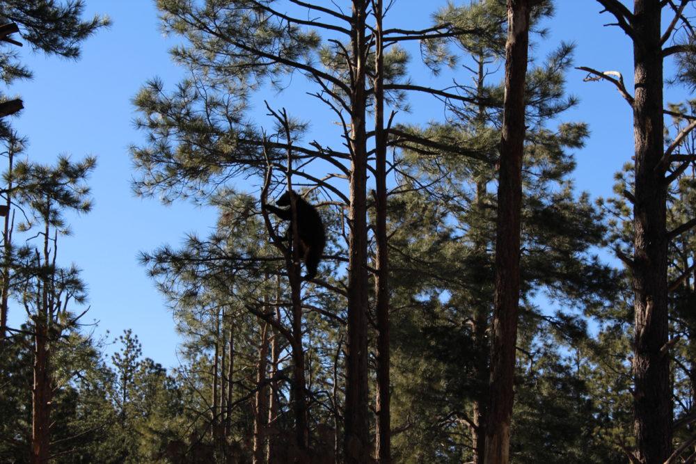 Why Visiting Arizona's Bearizona Wildlife Park is Awesome. Family travel. Vacation ideas. #familytravel #familyvacation #vacation #traveltips #bearizona #traveling #vacationtips #arizona #travelinspiration #travelblog #familytrip