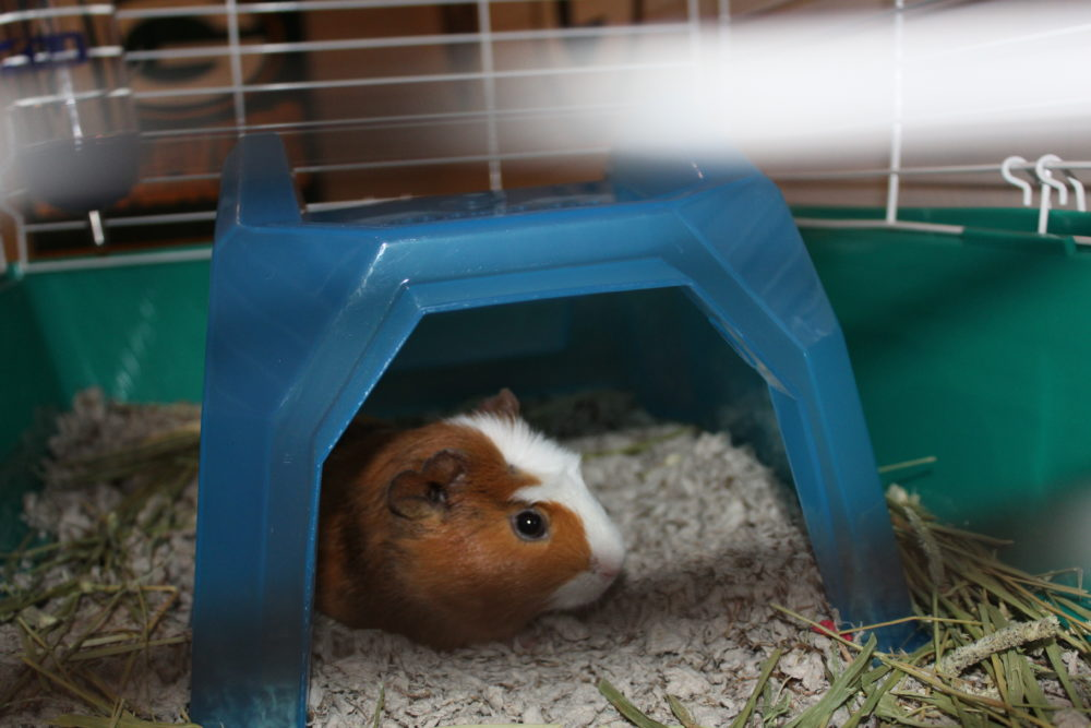 Guinea Pig in cage under plastic cave, Not a warm bed. The Best Guinea Pig Bed Your Pet Will Love. Guinea Pig bed review from a guinea pig owner. Best guinea pig accessory for beds. #guineapigs #pigs #piggies #pets #animals #petlovers #animallovers #petcare #petsupplies #smallanimals #smallmammal #petsarefamilytoo