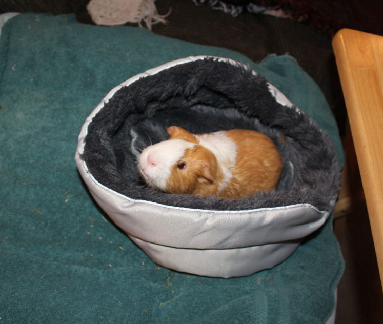 Guinea pig in guinea pig bed. The Best Guinea Pig Bed Your Pet Will Love. Guinea Pig bed review from a guinea pig owner. Best guinea pig accessory for beds. #guineapigs #pigs #piggies #pets #animals #petlovers #animallovers #petcare #petsupplies #smallanimals #smallmammal #petsarefamilytoo