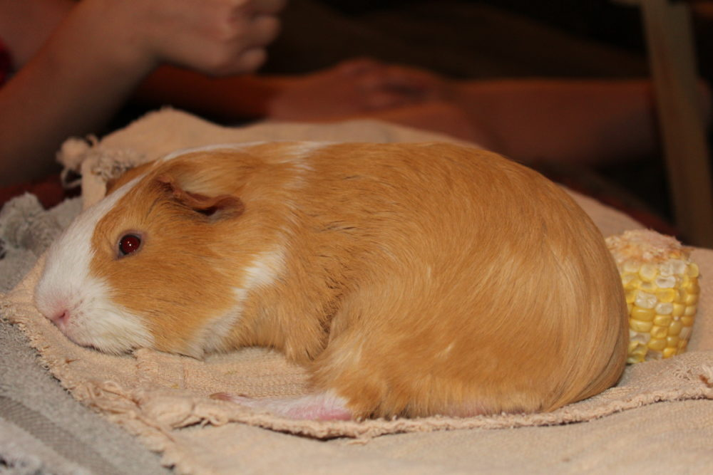 Lounging and Sleeping guinea pig. The Best Guinea Pig Bed Your Pet Will Love. Guinea Pig bed review from a guinea pig owner. Best guinea pig accessory for beds. #guineapigs #pigs #piggies #pets #animals #petlovers #animallovers #petcare #petsupplies #smallanimals #smallmammal #petsarefamilytoo