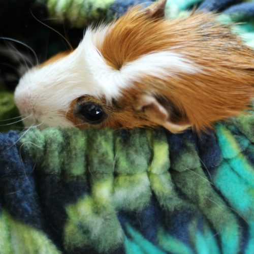 Guinea Pigs Make Great Pets