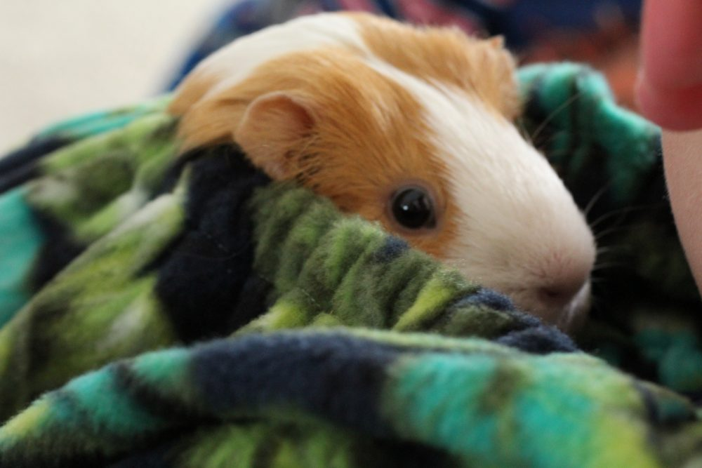 Guinea Pig Fleece Snuggle Sack For Unparalleled Bonding snuggled and peeking out to socialize. Guinea pig bonding bag, the best guinea pig accesory made of soft, washable fleece.