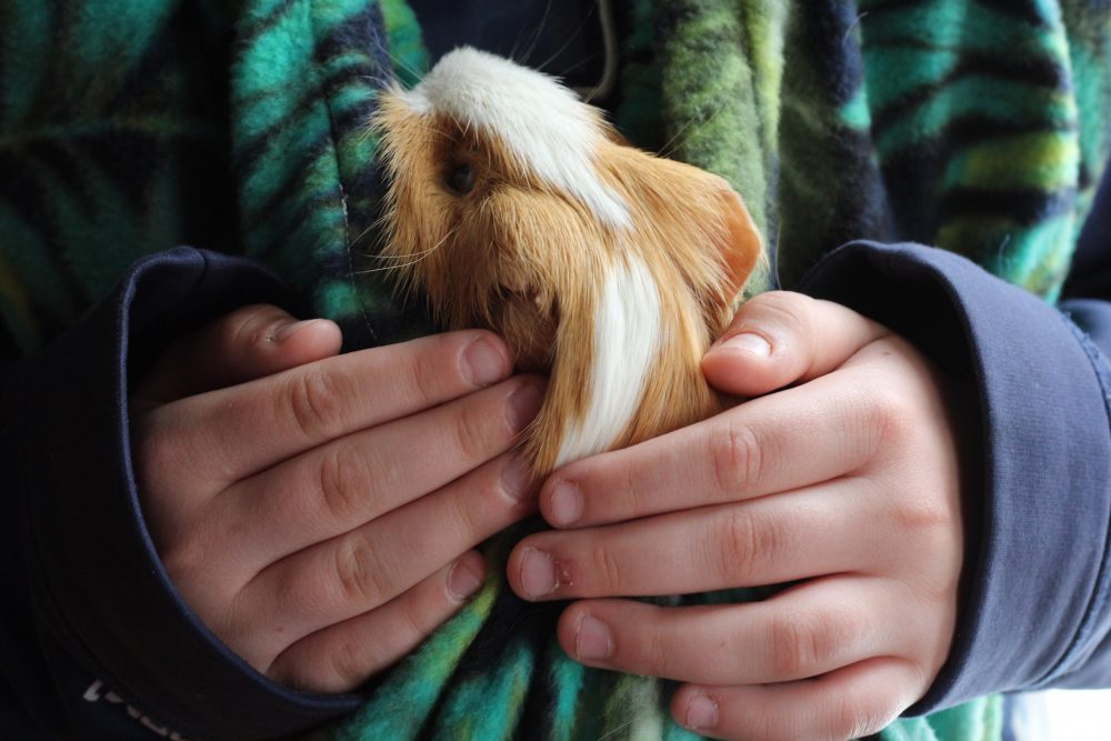 Guinea Pig Fleece Snuggle Sack For Unparalleled Bonding close up and snuggled in the bonding bag. This guinea pig accessory is an innovative design that allows guinea pig owners to carry their guinea pigs around hands free. It is a soft guinea pig fleece snuggle sack that is washable and durable. A fun guinea pig accesorry.