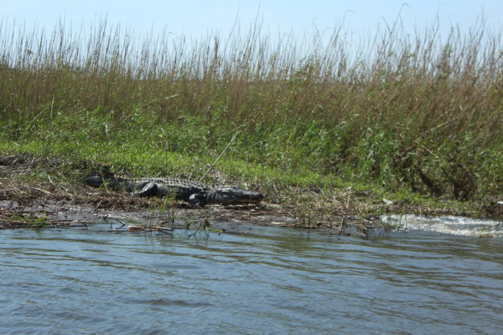 Air boat ride in Florida. The splash next to the large alligator was the female who slipped into the water as we approached. Alligators often get scared off by the approach of people.