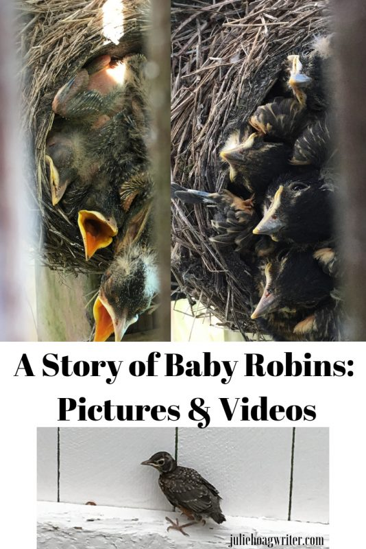 Baby Robins in a Nest Under Our Deck and American Robin Videos