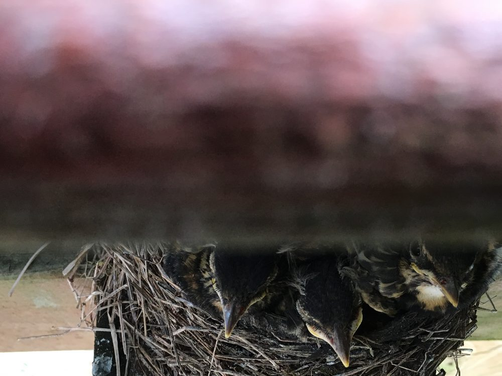 Baby robins in the nest beneath our deck