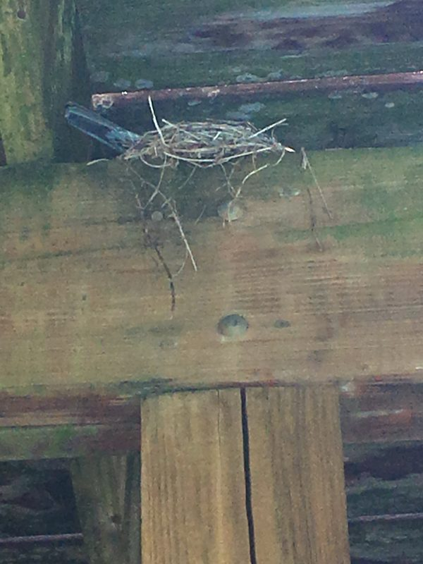 Mama robin on the nest of baby robins in their eggs