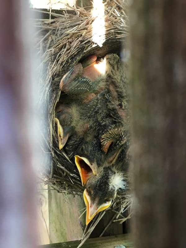baby robins in birds nest without full set of feathers
