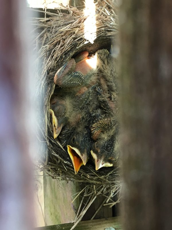 baby robins in nest without their full feathers