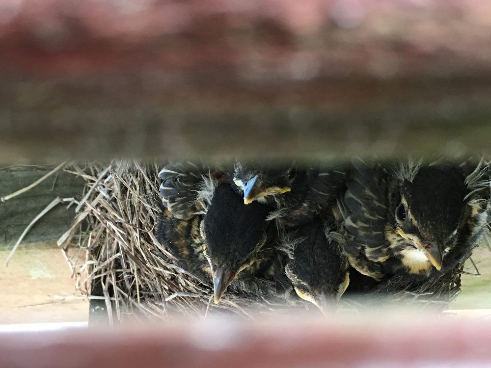 baby robins in the nest under